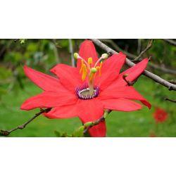 Passiflore Passiflora manicata wikimedia K M from New York City  seeds samen semilla semi zaden