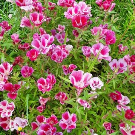 Godetia Naine clarkia amena graines semences fleurs seeds