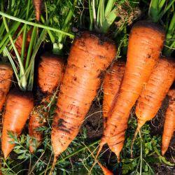 Bio Carotte KURODA graines semences certifiée
