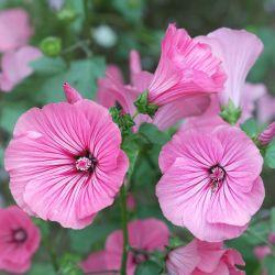 LAVATERE annuelle SILVER CUP graines semences fleurs