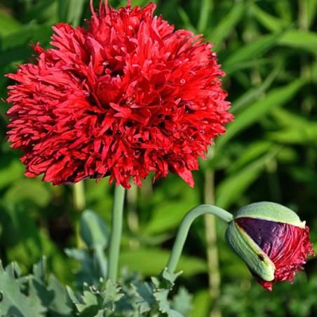 pavot à felurs de pivoine rouge Papaver somniferum paeniflorum graines seeds semences
