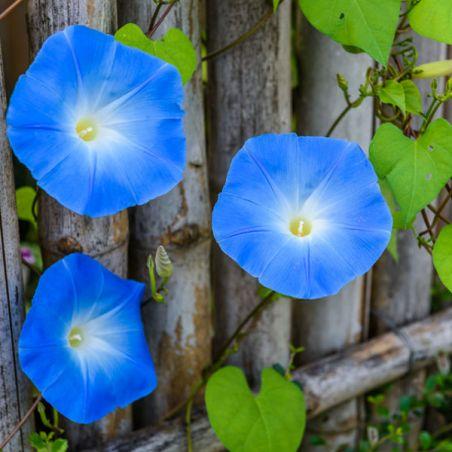 Ipomoea Heavenly blue graines fleurs semences