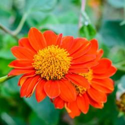 Tournesol Mexicain Tithonia Rotundiflora graines fleurs annuelle semences