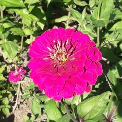 ZINNIA GEANT PURPLE PRINCE graines semences fleurs annuelle