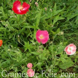 Coquelicot mélange couleur mix rose rouge papaver rhoeas graines semences seeds