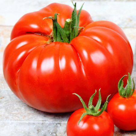 BIO TOMATE BEEFSTEAK graines semences certifiées AB variété ancienne