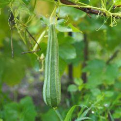 COURGE EPONGE végétale LUFFA ACUTANGULA graines semences seeds samen