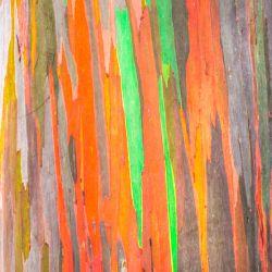 Eucalyptus Arc en ciel Deglupta graines semences seeds samen