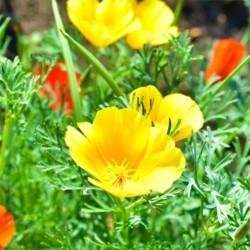 Pavot de Californie Jaune Eschscholzia Californica graines fleurs
