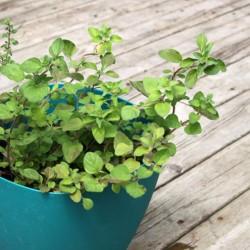 ORIGAN GREC origanum vulgare ssp. hirtum graines semences seeds plante aromatique