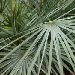 Palmier Nain Bleu Chamaerops humilis var, cerifera graines semences seeds rare