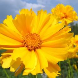 Coreopsis Early Sunrise plante vivace fleurs jaune graines