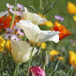 Pavot de Californie fleurs blanches Eschscholzia Californica graines semences