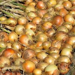 Oignon Sturon jaune précoce graines semences