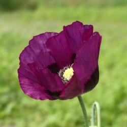 Pavot Lauren's Grape Papaver somniferum graines semences libres fleurs