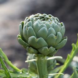 Artichaut IMPERIAL STAR type globe graines maraichère semences à pollinisation libre