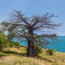 Baobab de Suarez Adansonia Suarezensis graines semences seeds
