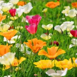 PAVOT de CALIFORNIE en mélange graines fleurs semences à pollinisation libre