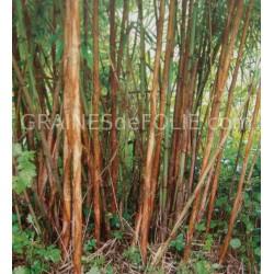 Bambou CHOCOLAT «Fargesia Fungosa»