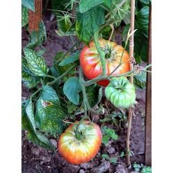 «PONDEROSA ROSE» Tomate rose