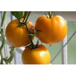 « JUBILEE » Tomate jaune/orange