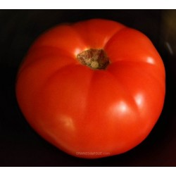 «MONEYMAKER» Tomate