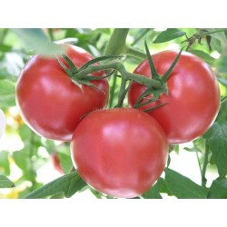 « LARGE RED CHERRY » Tomate cerise