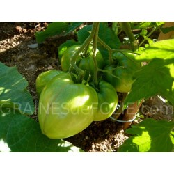 «CUOR DI BUE» Tomate coeur de boeuf