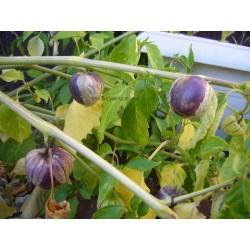 Tomatillo violet «PURPLE»